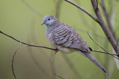Peaceful Dove (Geopelia striata placida) - Darwin, NT