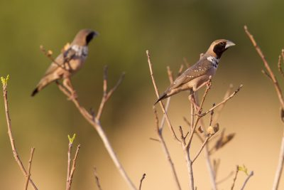 Pictorella Mannikin (Heteromunia pectoralis) - Top Springs, NT (2)