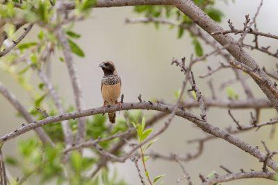 Pictorella Mannikin (Heteromunia pectoralis) - Top Springs, NT (3)
