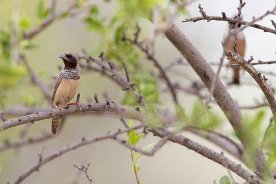 Pictorella Mannikin (Heteromunia pectoralis) - Top Springs, NT (4)