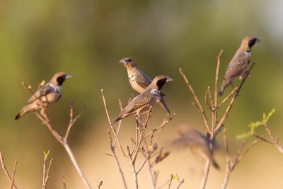 Pictorella Mannikin (Heteromunia pectoralis) - Top Springs, NT