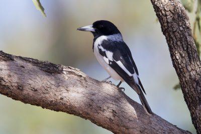 Pied Butcherbird (Cracticus nigrogularis picatus) - Katherine, NT