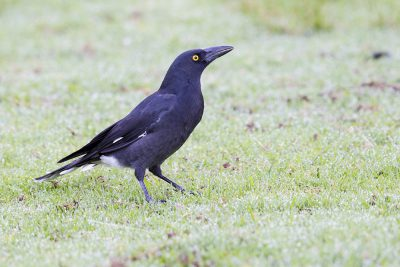 Pied Currawong (Strepera graculina graculina) - Lammington National Park, QLD