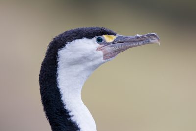 Pied Shag  - New Zealand