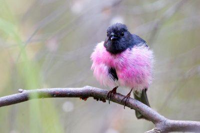 Pink Robin (Petroica rodinogaster rodinogaster) - Tasmania (4)
