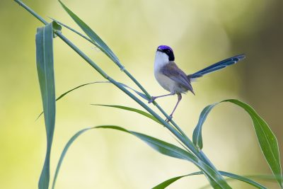 Purple-crowned Fairy-wren (Malurus coronatus coronatus)