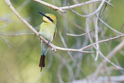 Rainbow Bee-eater (Merops ornatus) - Fogg Dam, NT (2)