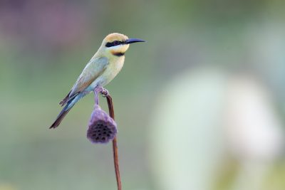 Rainbow Bee-eater (Merops ornatus) - Fogg Dam, NT