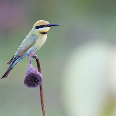 Bee-eaters, Dollarbirds & Rollers