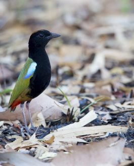 GUIDE TO FINDING BIRDS AROUND DARWIN