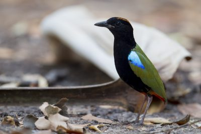 Rainbow Pitta (Pitta iris iris) - Howard Springs Reserve, NT (2)
