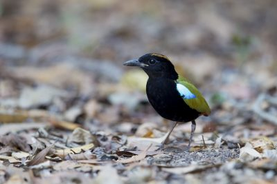 Rainbow Pitta (Pitta iris iris) - Howard Springs Reserve, NT (4)