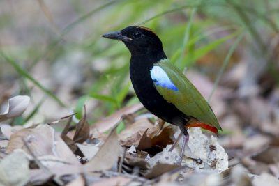 Rainbow Pitta (Pitta iris iris) - Howard Springs Reserve, NT