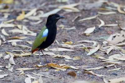 Rainbow Pitta (Pitta iris iris) - Howard Springs Reserve, NT (5)