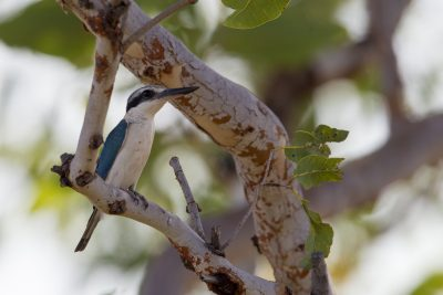 Red-backed Kingfisher (Todiramphus pyrrhopygius) - Adelaide River, NT (2)