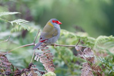 Red-Browed Finch (Neochmia temporalis temporalis) - Bunya Mountains National Park, QLD