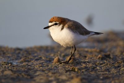Red Capped Plover (Charadrius ruficapillus) - Alice Springs, NT