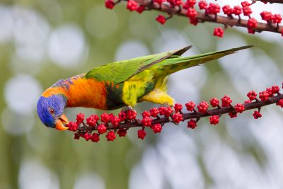 Red-collared Rainbow Lorikeet (Trichoglossus haematodus rubitorquis) - East Point, NT
