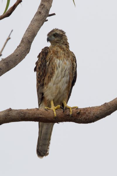 Red Goshawk (Erythrotriorchis radiatus) - Mary River, NT (2)