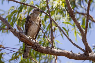 Red Goshawk (Erythrotriorchis radiatus) - Mary River, NT (3)