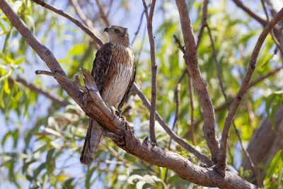 Red Goshawk (Erythrotriorchis radiatus) - Mary River, NT (4)