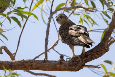 Red Goshawk (Erythrotriorchis radiatus) - Mary River, NT