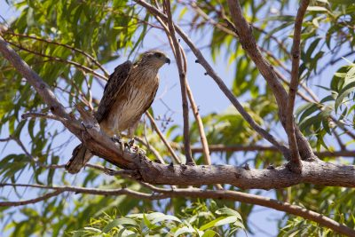 Red Goshawk (Erythrotriorchis radiatus) - Mary River, NT (5)
