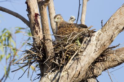 Red Goshawk - On Nest (Erythrotriorchis radiatus) - Mary River, NT (3)