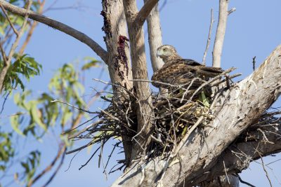 Red Goshawk - On Nest (Erythrotriorchis radiatus) - Mary River, NT (4)