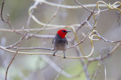 Red-headed Honeyeater - (Myzomela erythrocephala erythrocephala) - Darwin, NT (5)