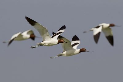 Red Necked Avocet (Recurvirostra novaehollandiae) - Alice Springs, NT
