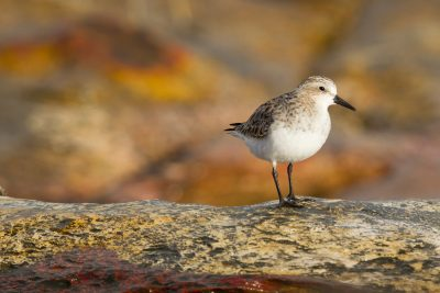 Red-necked Stint (Calidris ruficollis) - Nightcliff, NT (2)