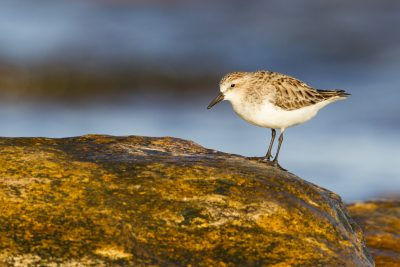 Red-necked Stint (Calidris ruficollis) - Nightcliff, NT (3)