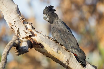 Red-tailed Black Cockatoo (Calyptorhynchus banksii macrorhynchus) - Marrakai Track, NT