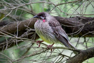 Red Wattlebird (Anthochaera carunculata carunculata) - Great Ocean Road, VIC