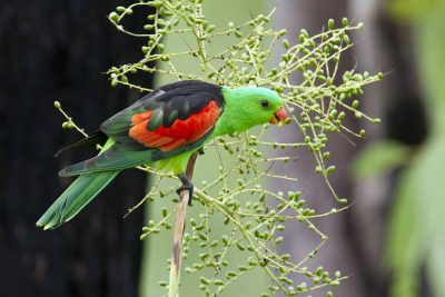 Red-winged Parrot (Aprosmictus erythropterus) - Daly River, NT