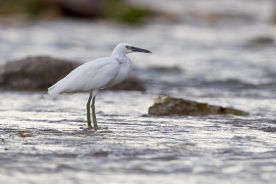 Reef Egret - White Morph (Egretta sacra sacra) - East Point, NT