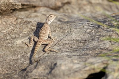 Ring-tailed Dragon (Ctenophorus Caudicinctus)