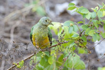 Rose-crowned Fruit Dove - Juvenile (Ptilinopus regina ewingii) - East Point, NT (3)