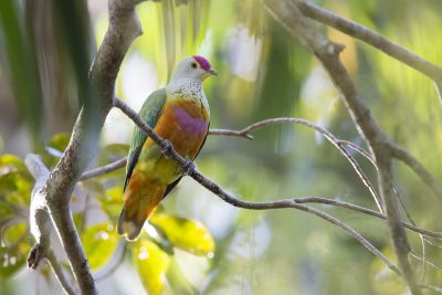 Rose-crowned Fruit Dove (Ptilinopus regina ewingii) - East Point, NT (3)
