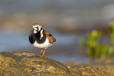 Ruddy Turnstone (Arenaria interpres interpres) - East Point, NT (2)