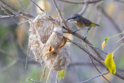 Rufous-banded Honeyeater - Building Nest (Conopophila albogularis) - Darwin, NT (2)