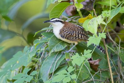 Rufous-naped Wren
