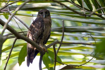 Rufous Owl (Ninox rufa rufa) - Darwin, NT (4)