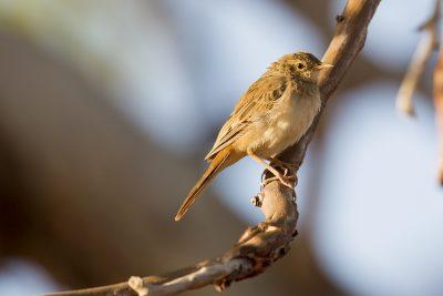 Rufous Songlark (Cincloramphus mathewsi) - Marrakai Track, NT
