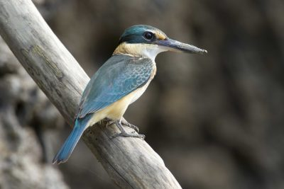 Sacred Kingfisher (Todiramphus sanctus sanctus) - Buffalo Creek, NT