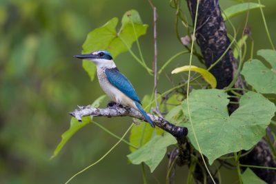 Sacred Kingfisher (Todiramphus sanctus sanctus) - Mamakala, NT (2)