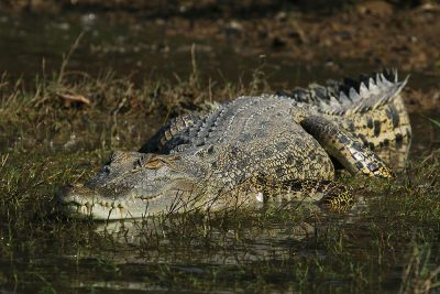 Saltwater crocodile - Cooroboree Billabong, NT