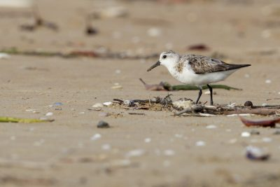 Sanderling (Calidris alba) - Sandy Creek, NT