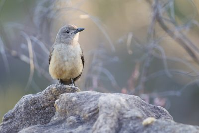 Sandstone Shrike-thrush (Colluricincla woodwardi) - Mitchell Plateau, WA (2)